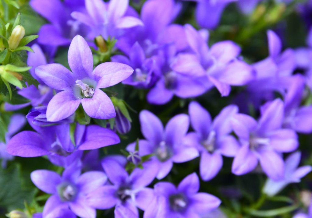 Glockenblume violette Blüten im GArten