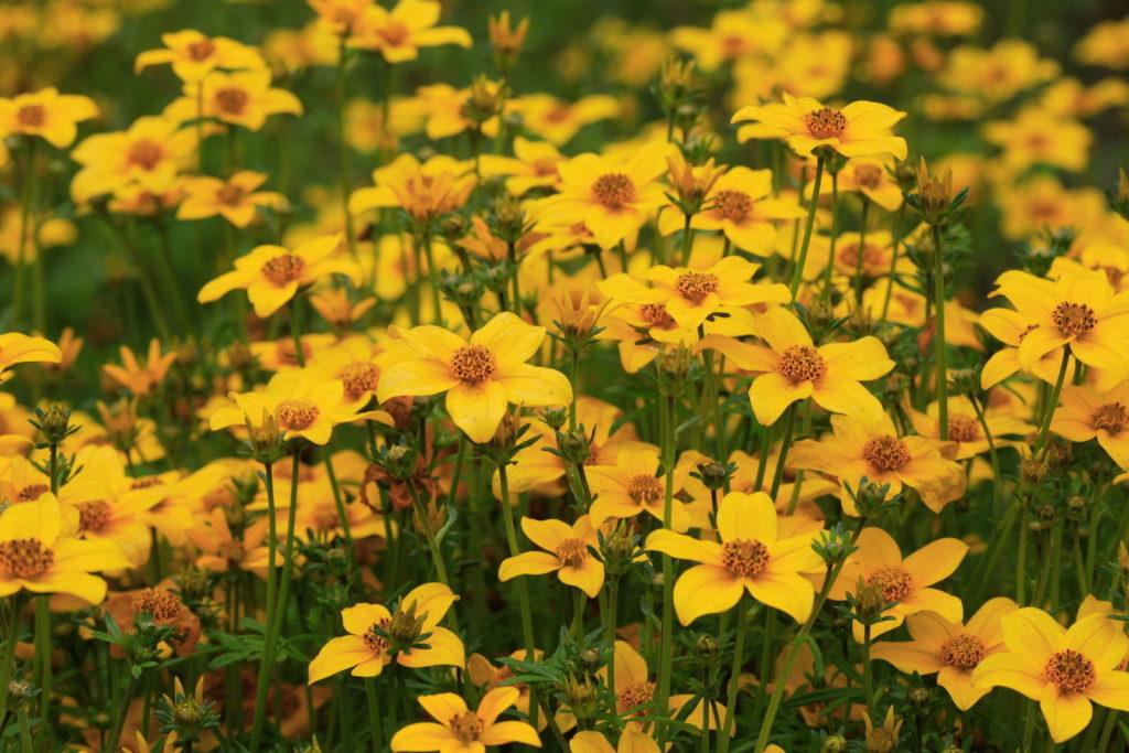 Ein Feld voller gelber Goldmarien