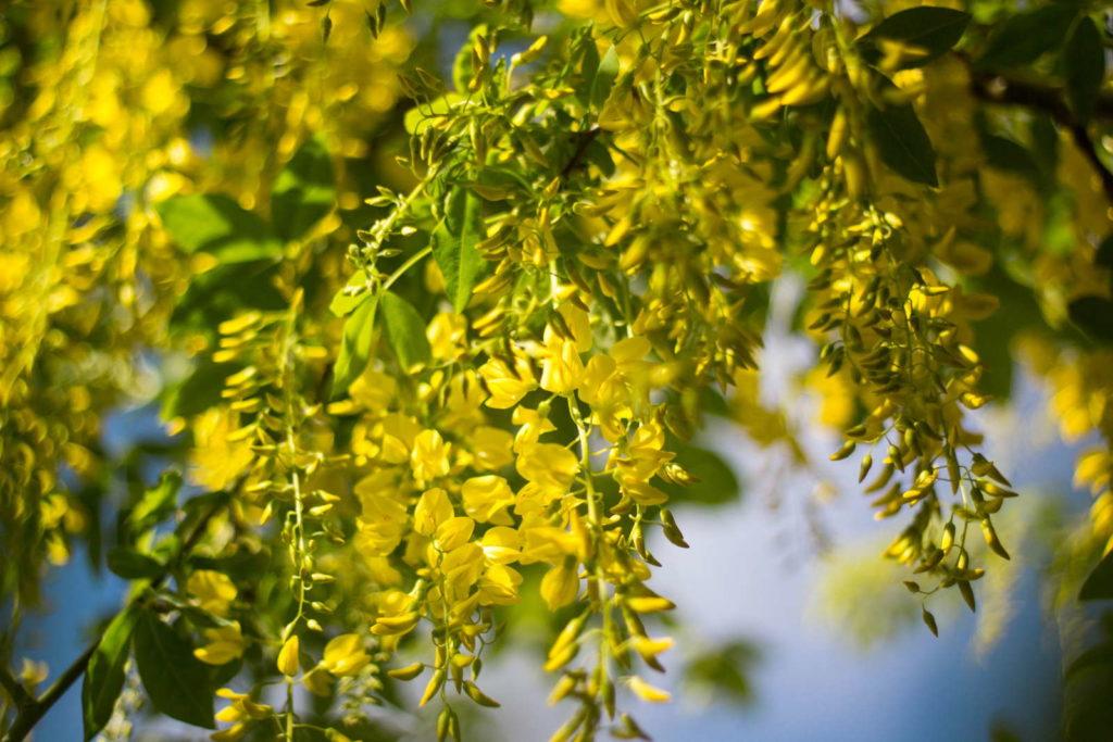 Gelbe Blütentrauben des Goldregens
