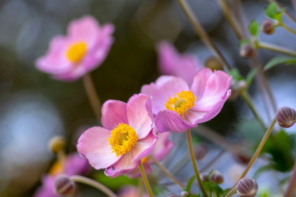Herbst-Anemone BLüten