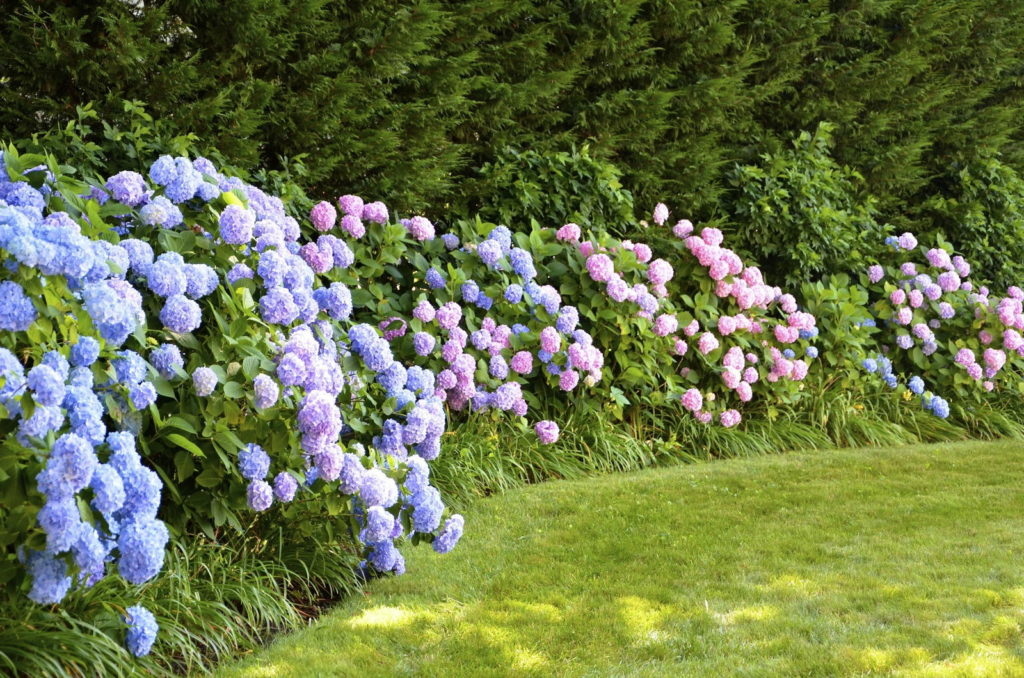 Hortensienhecken in Blau und Rosa
