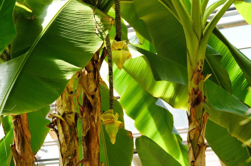 Japanische Banane