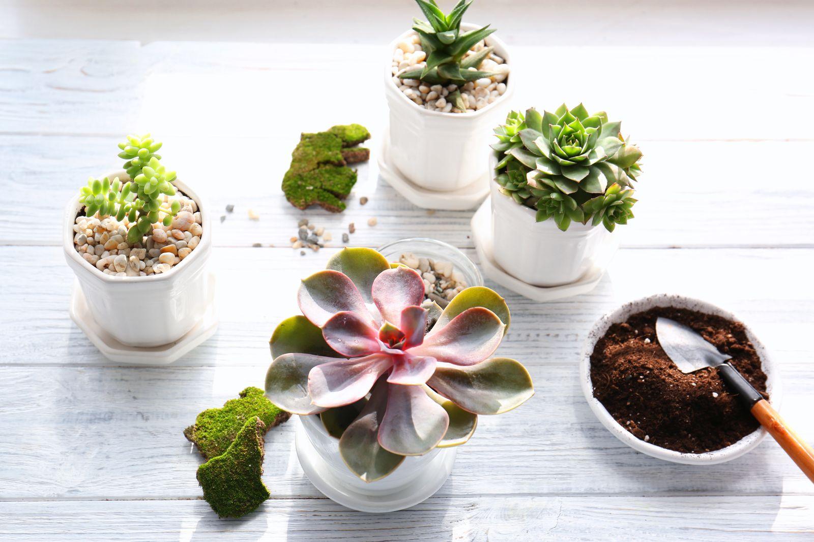Kakteen& Sukkulenten richtig pflegen Die 5 besten Tipps Plantura ~ 23202556_Sukkulenten Im Winter Umtopfen