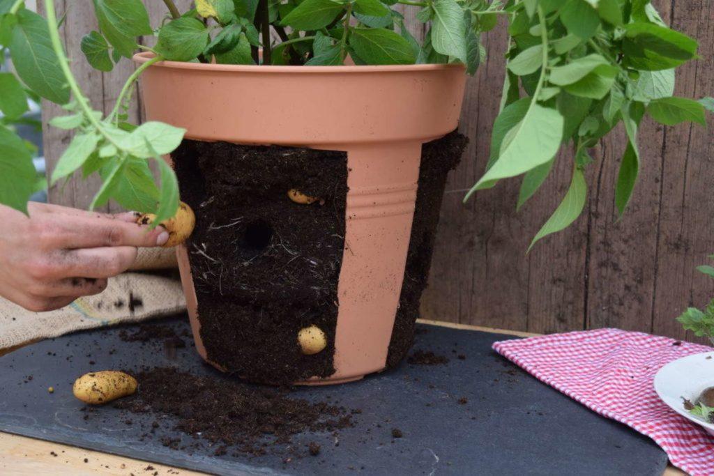 Kartoffeln in einem aufgeschnittenen Topf