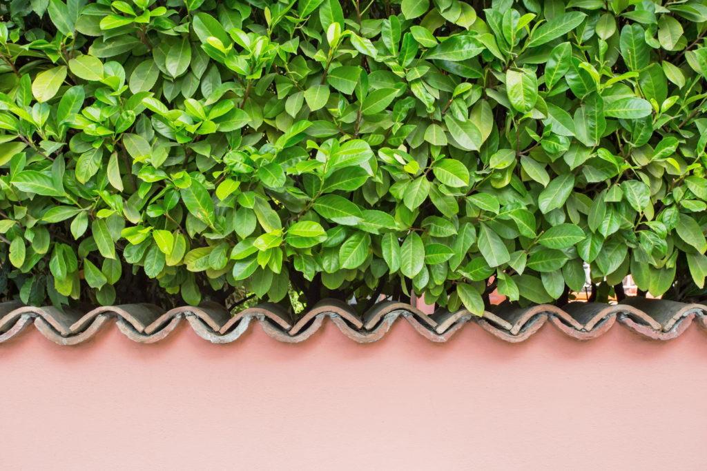 Kirschlorbeer als Hecke über Mauer
