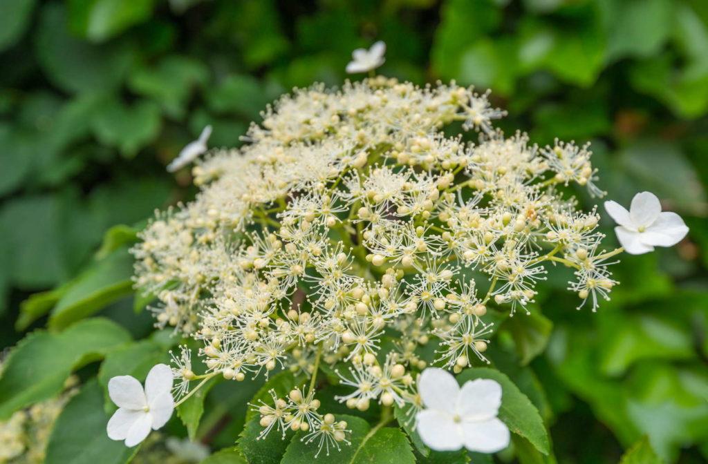 Kletterhortensie mit Dolde und weißen Blüten