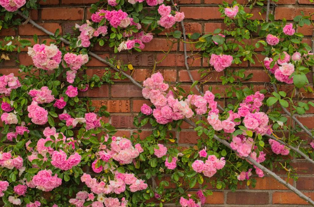 Rosafarbene Kletterrose an einer Backsteinwand