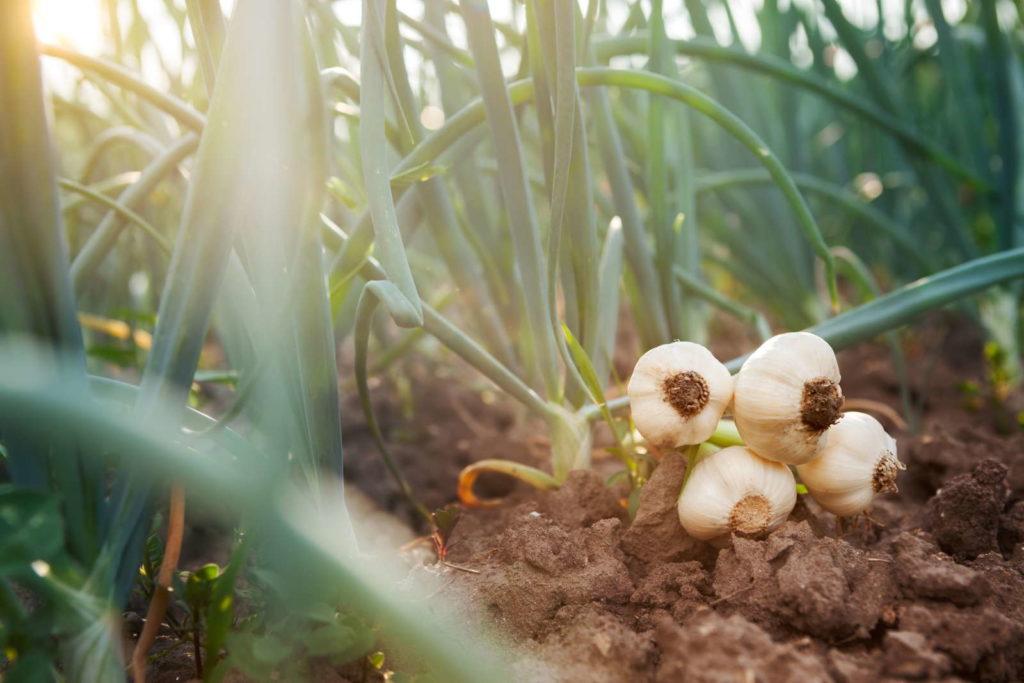 Knoblauchzwiebeln auf der Erde im Feld