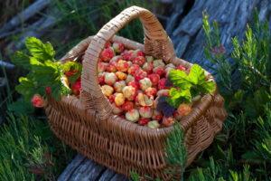 Korb Mit Cloudberries Im Garten
