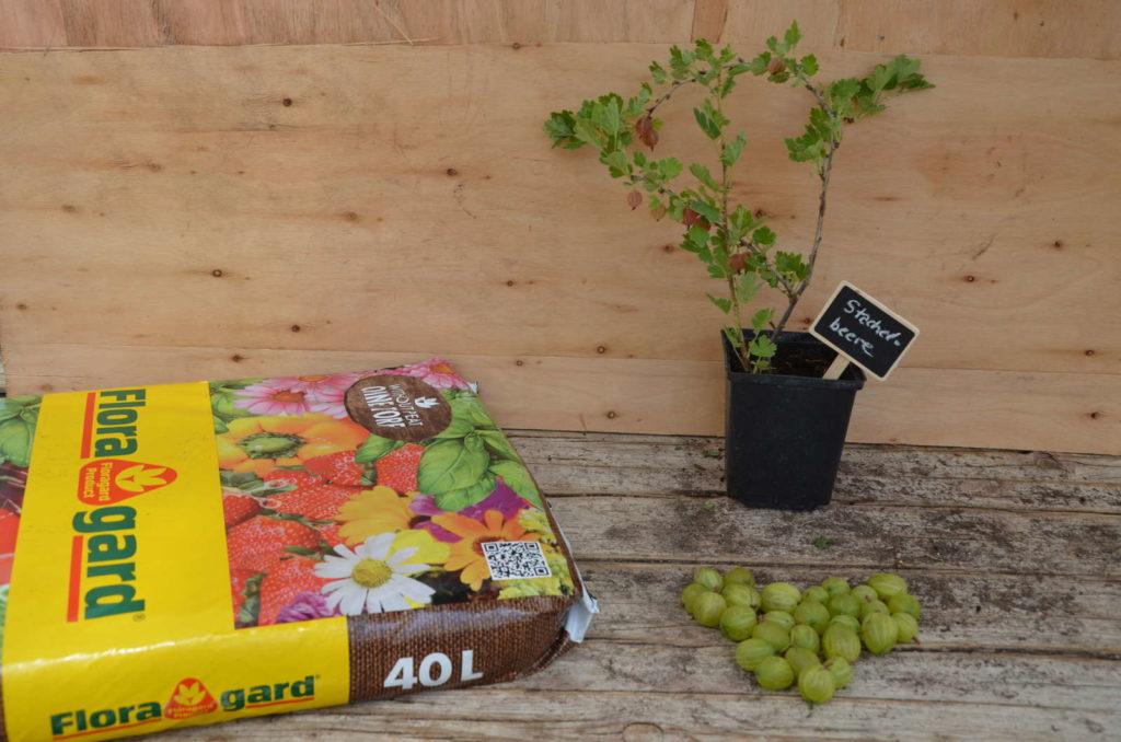 Stachelbeere busch im Topf mit Beeren und erdsack