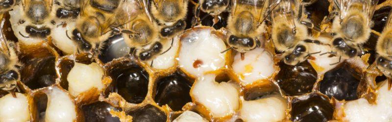 Bienen Und Varroamilbe Im Bienenstock