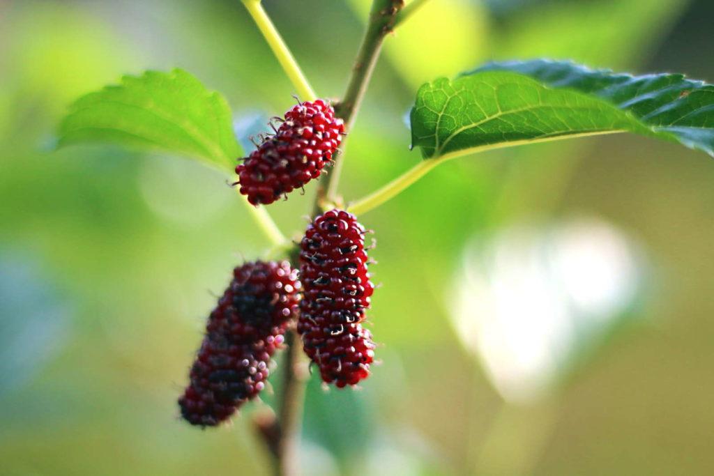 Morus rubra Rote Maulbeere am Zweig