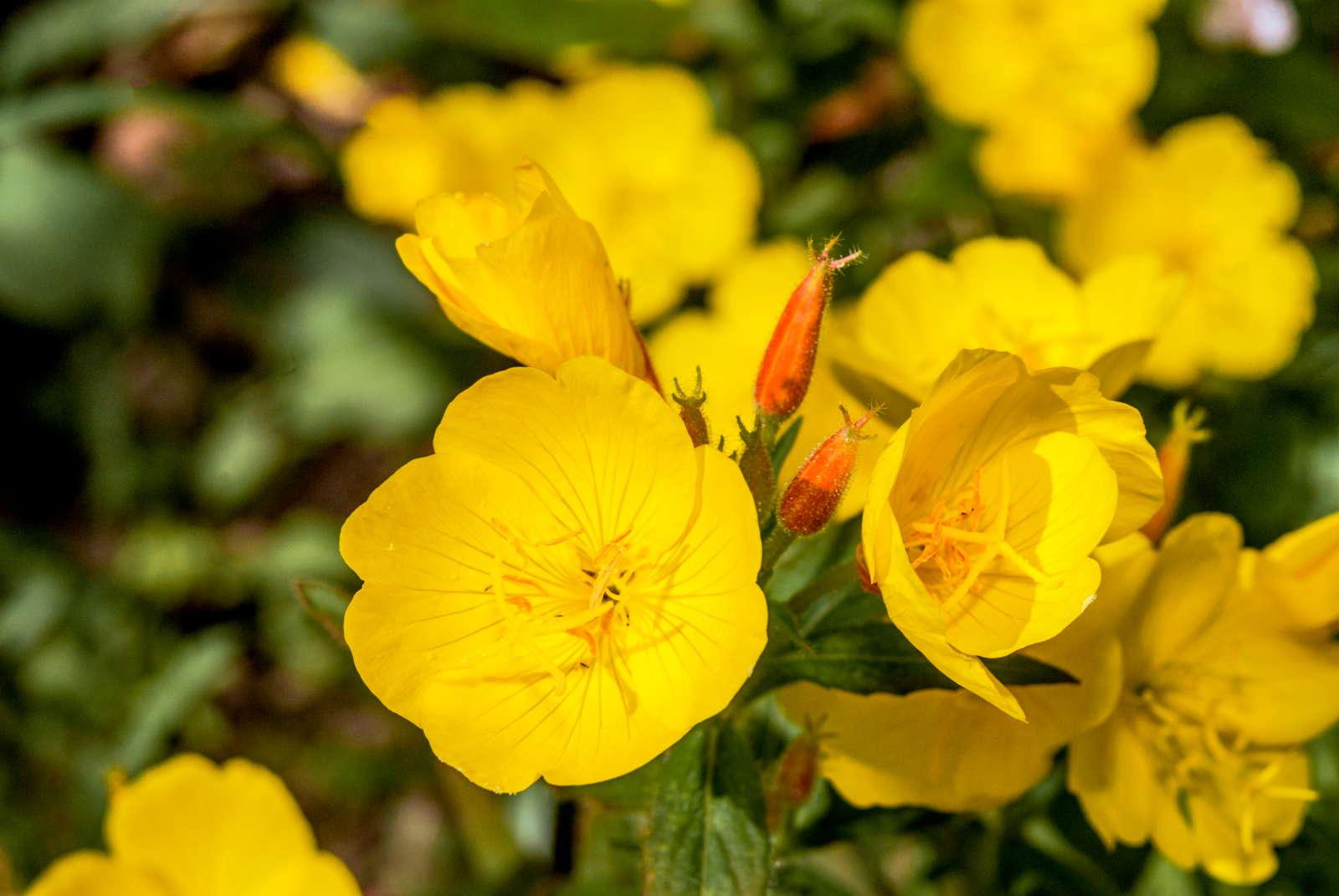 Lieblings Schneckenresistente Pflanzen: Blumen, Stauden & Gemüse - Plantura #NQ_78