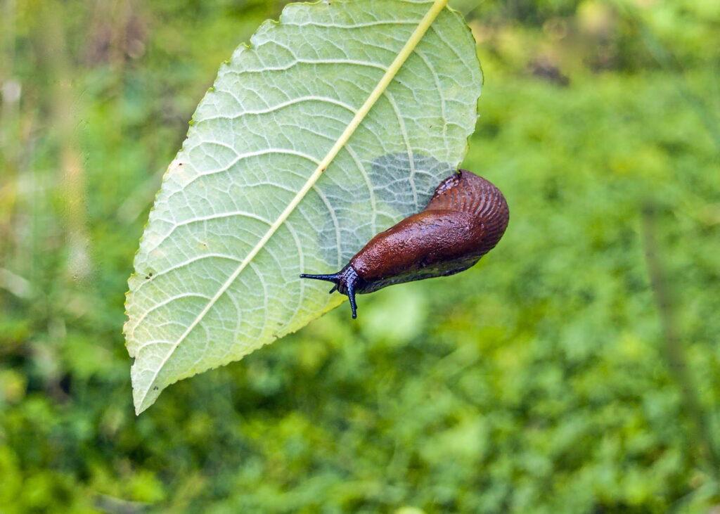 Nacktschnecke kriecht auf grünem Blatt