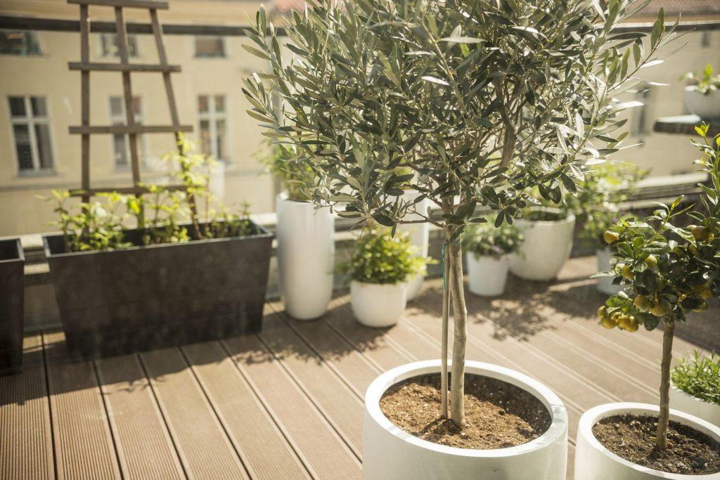 Ein Olivenbaum und andere Pflanzen auf einem sonnigen Balkon
