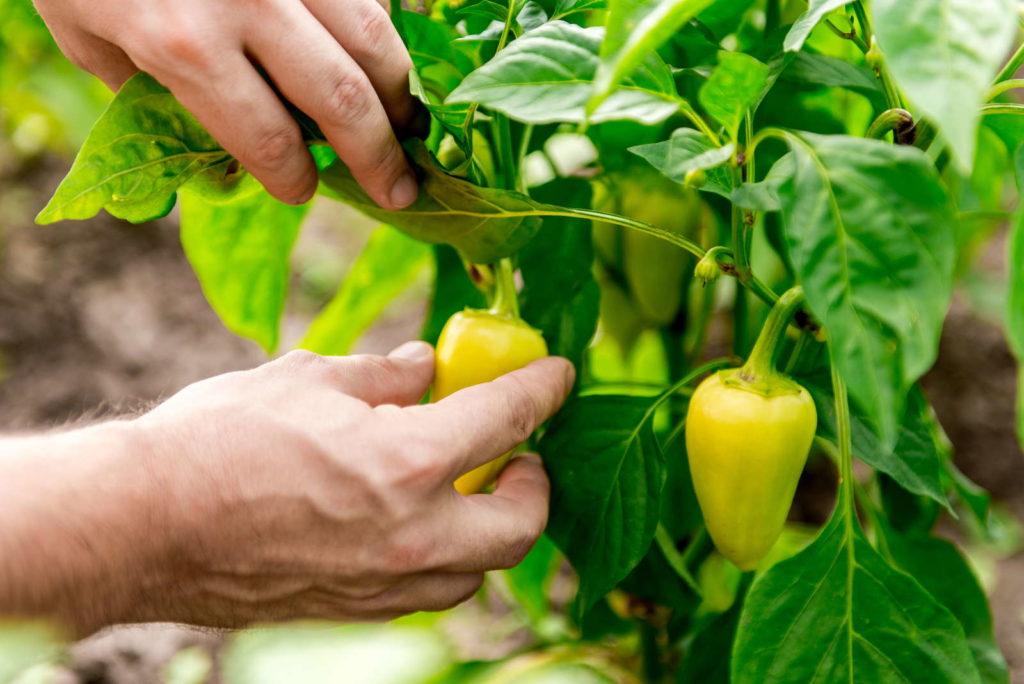 Peperoni Pflanze ernten mit der HAnd