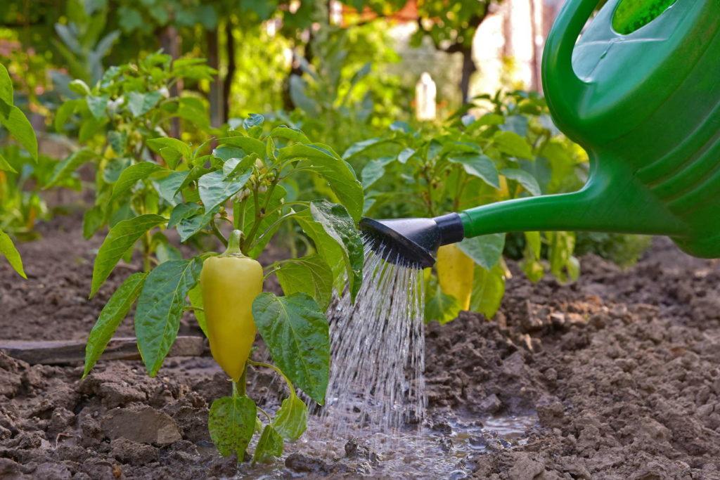 Peperoni Pflanze gießen mit Gießkanne im Beet