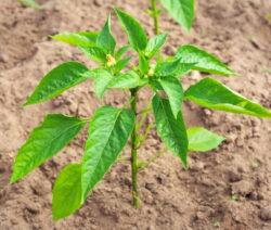 Peperoni Pflanze In Der Erde
