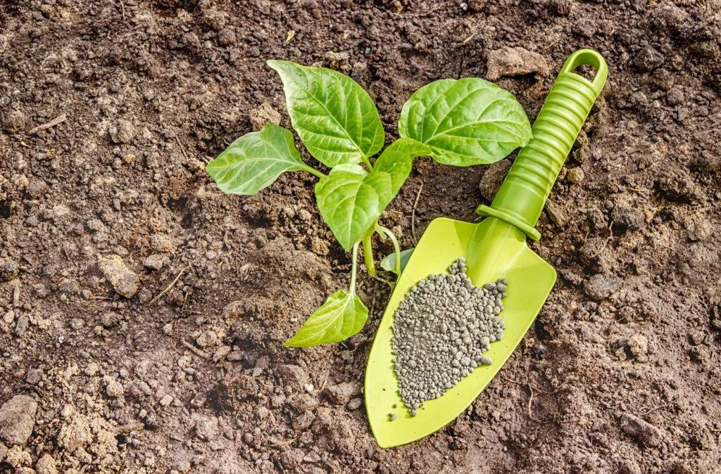 Peperoni Pflanze in der Erde mit Schaufel und Dünger