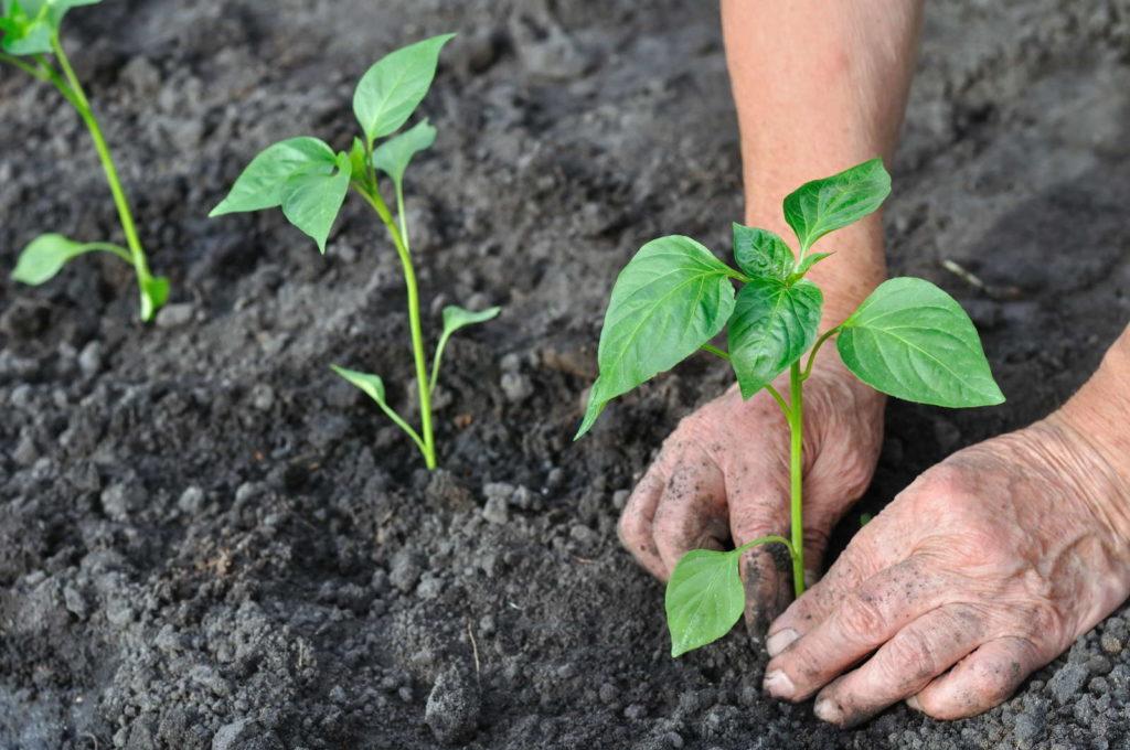 Peperoni Pflanzen in die Erde pflanzen per HAnd