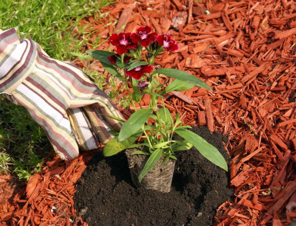 Pflanze wird in Mulch gepflanzt