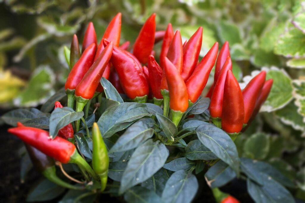 Red pepper plant (Capsicum frutescens) peproni pflanze im Garten