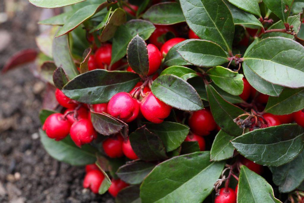 Rote Scheinbeeren mit grünen Blättern