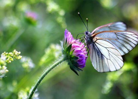 Schmetterling Auf Lilaner Blume
