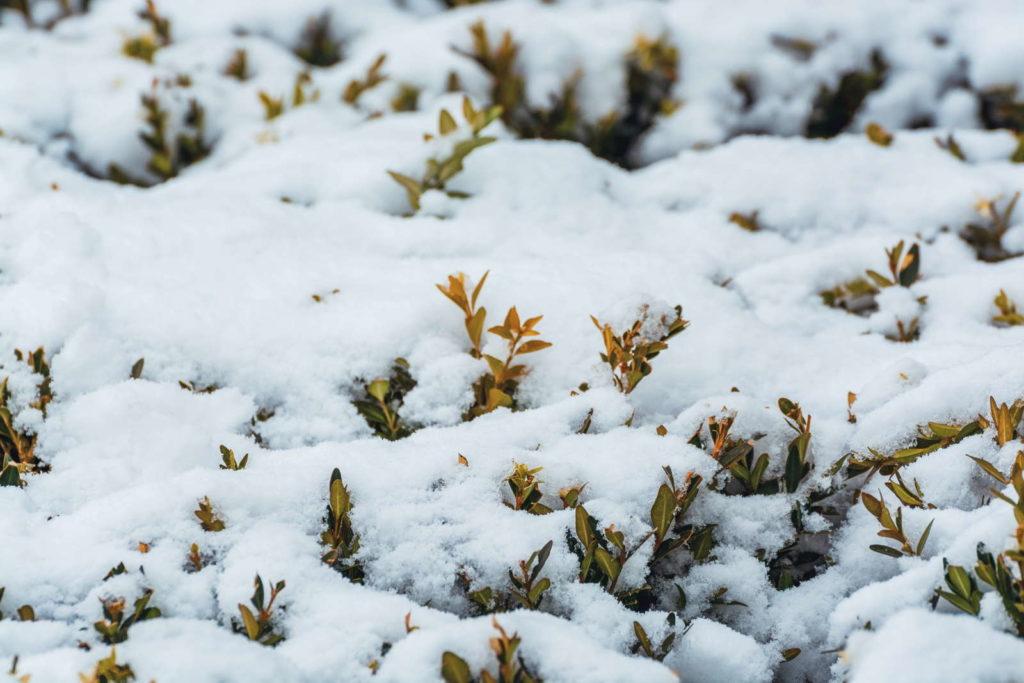 Buchsbäume sind von Schnee bedeckt, sodass nur einzelne Äste durch den Schnee ragen
