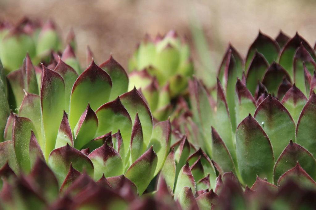 Sempervivum arachnoideum mit lilanen Spitzen