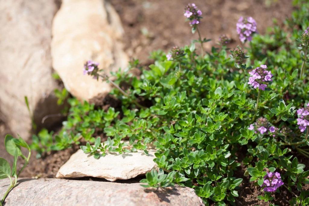 Thymian mit Blüten im Steingarten