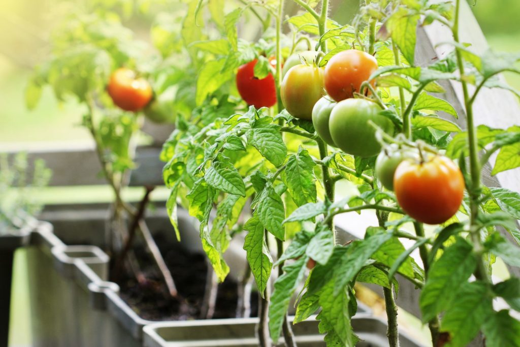 Kleine Tomaten in Töpfen auf einem Balkon