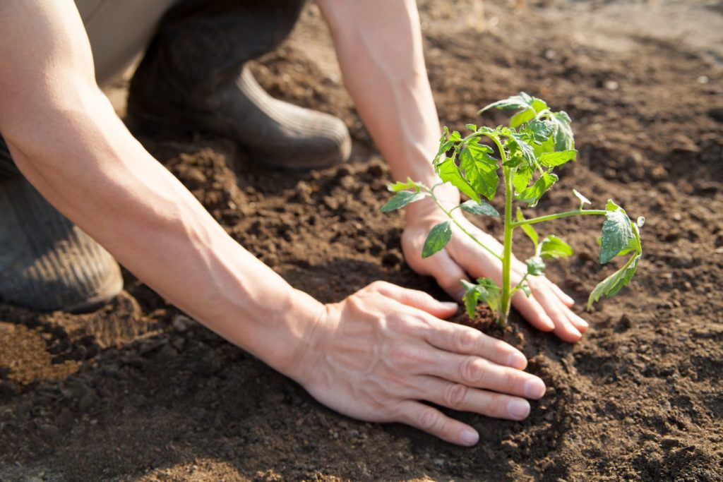 Tomatenpflanze wird gepflanzt per HAnd in Erde