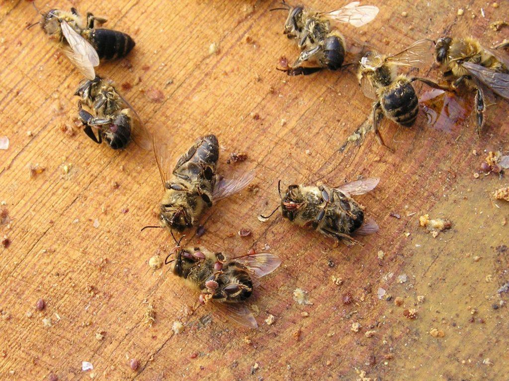 Tote Bienen mit Varroamilben