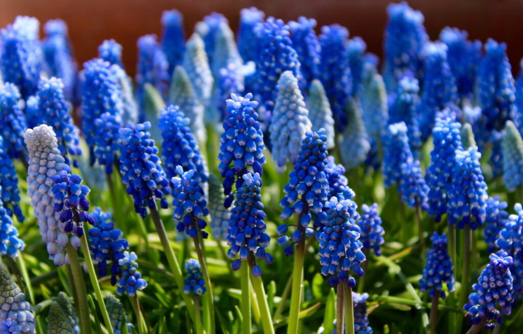 Traubenhyazinthen blau in der Sonne