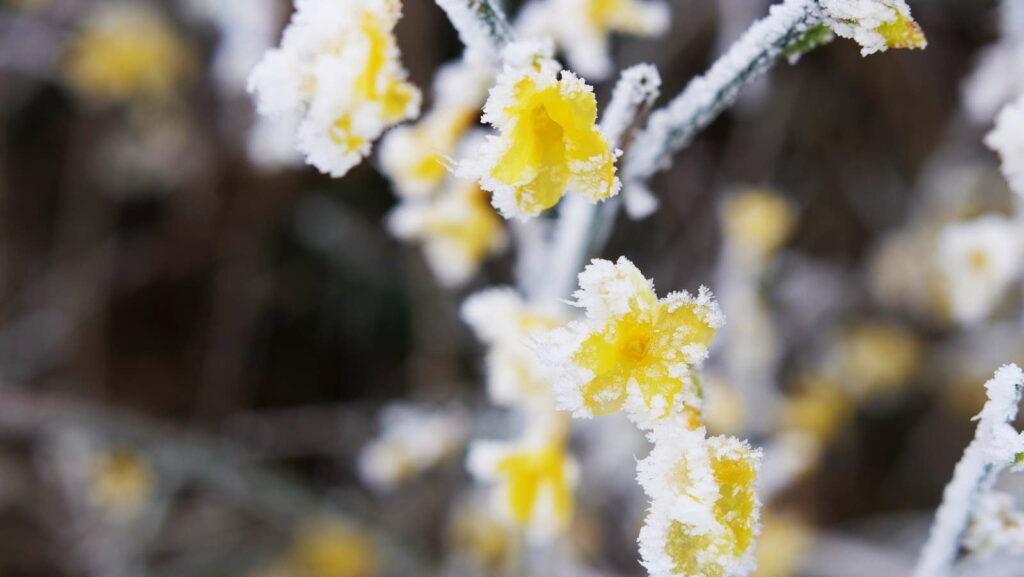 Frost an den gelben Blüten eines Winterjasmins