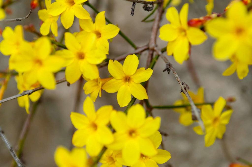 Gelbe Blüten des Winterjasmins
