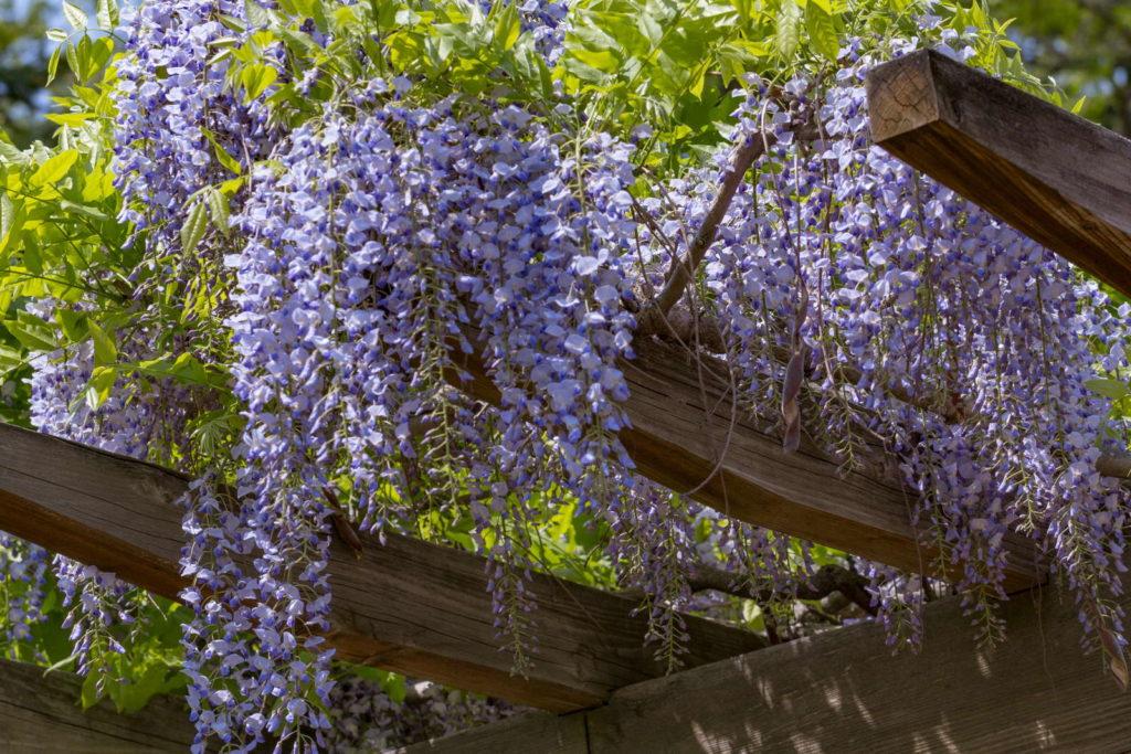 Blauregen auf den Balken einer Pergola