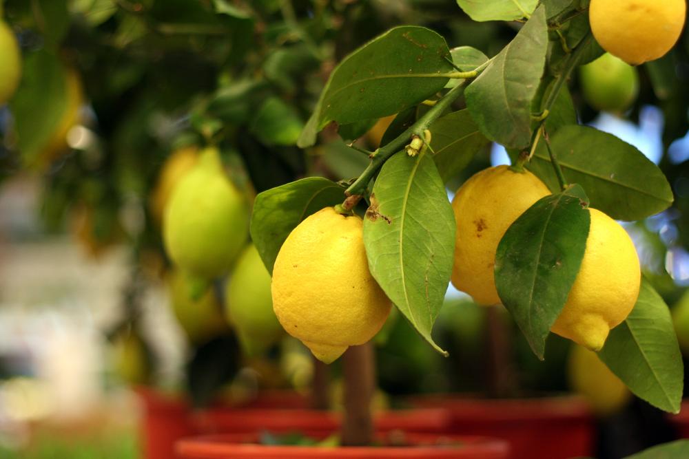 Zitronenbaum mit Früchten im Topf