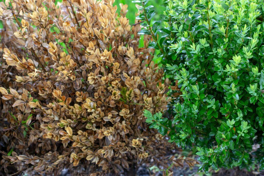 Buchsbaum mit abgestorbenen Trieben
