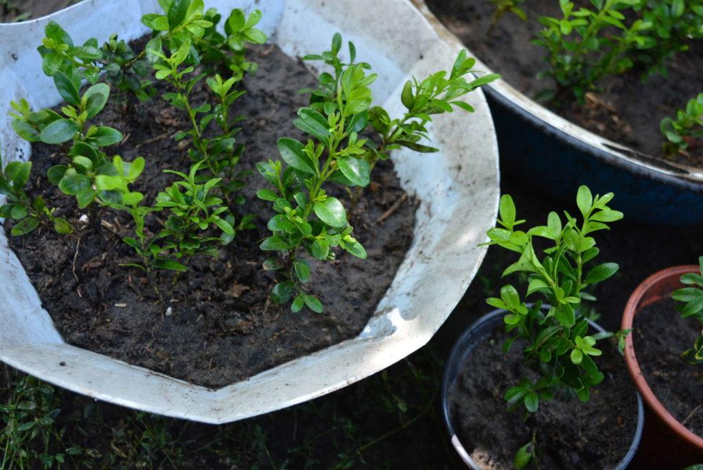 In einer Schale gepflanzte Buchsbaumstecklinge