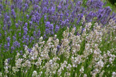 Weißer Lavendel: Eigenschaften & Ansprüche im Überblick