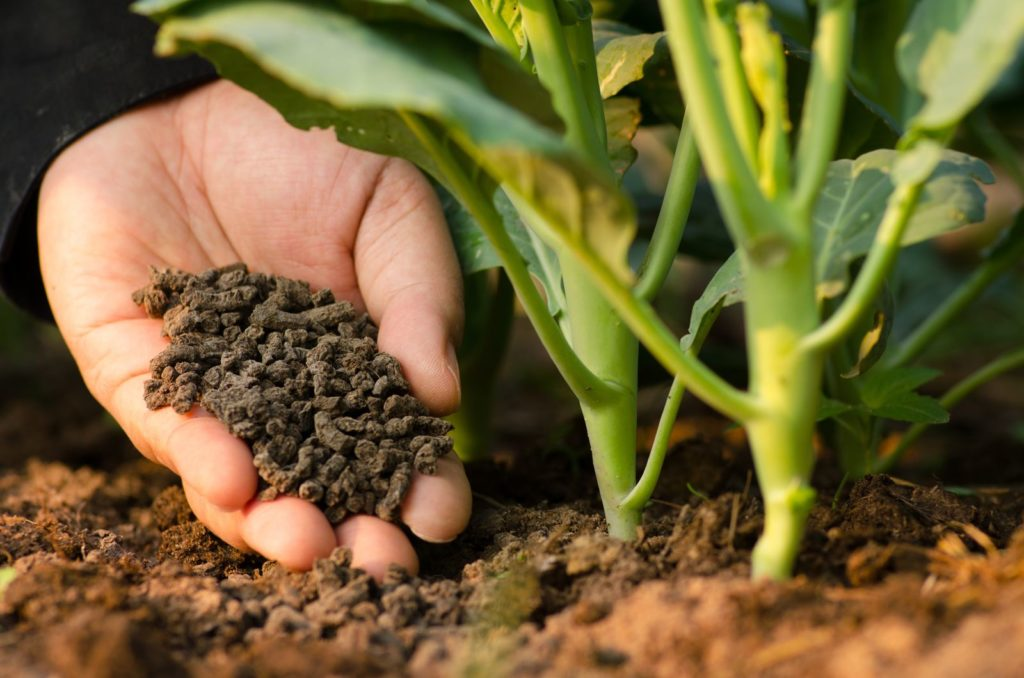 organischer Dünger wird im Garten auf eine Pflanze gestreut