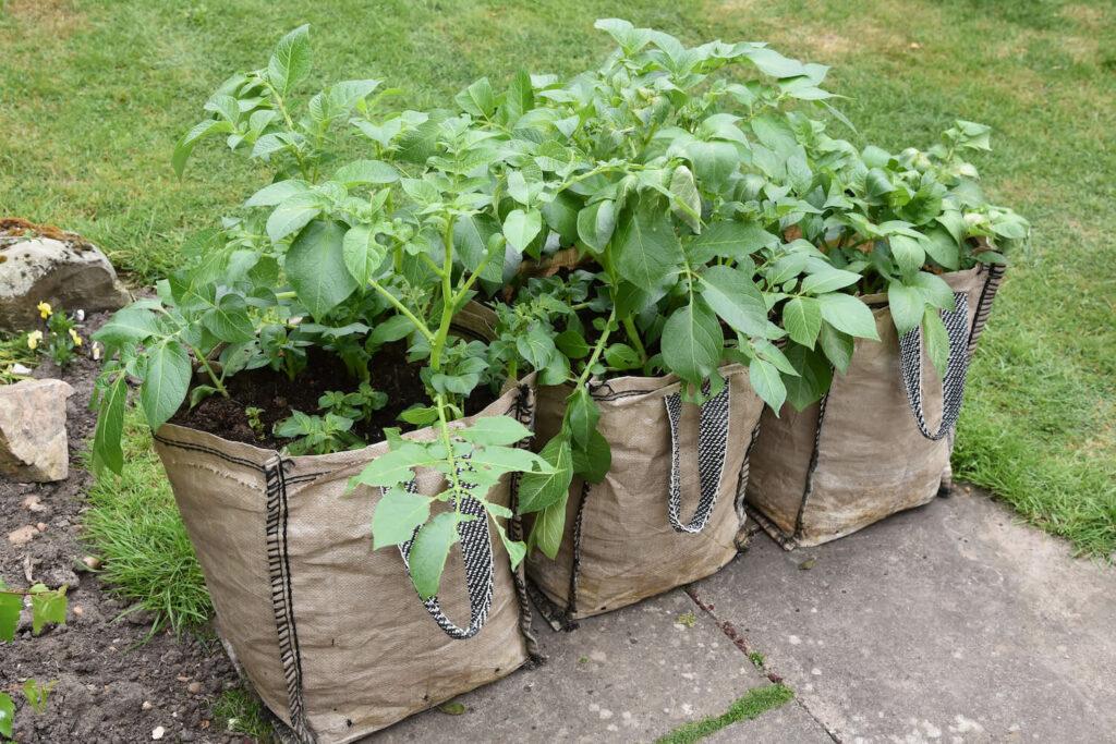 Pflanzen in Kartoffelsäcken
