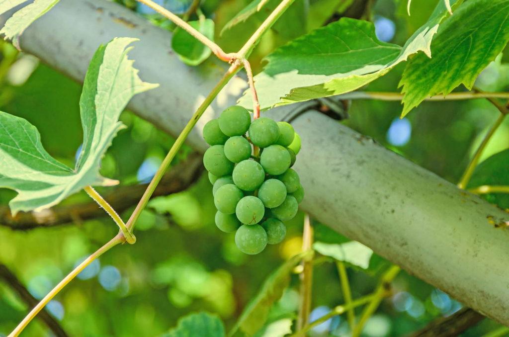 Kleine grüne Weinrebe