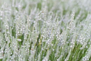 Weißer Lavendel Im Feld