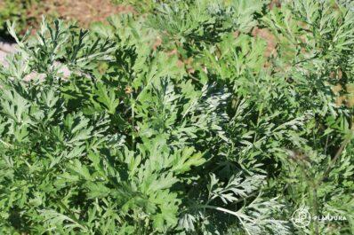 Wermutkraut: Heilsames Bitterkraut aus dem eigenen Garten