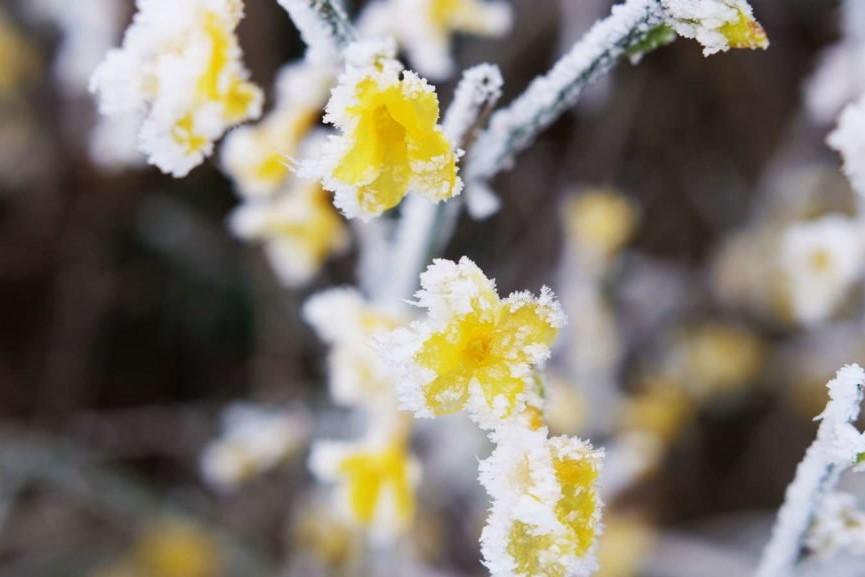 Blüten des Winterjasmins bei Frost