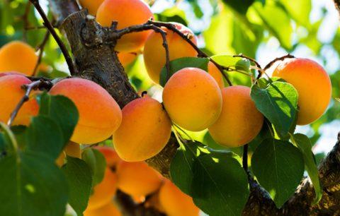 Aprikosenbaum Pflanzen: Anleitung & Tipps Vom Profi