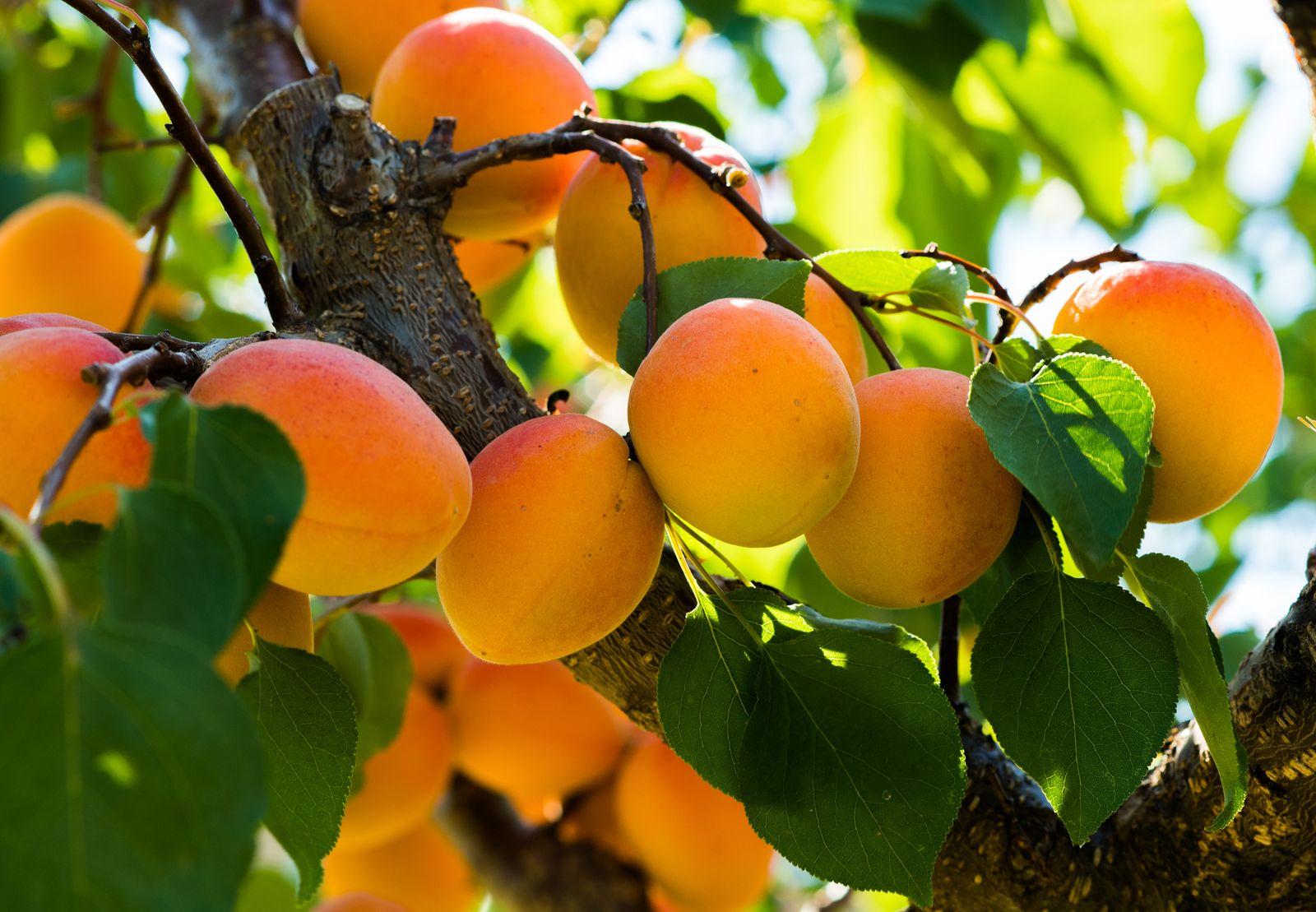 Aprikosenbaum Pflanzen Anleitung Tipps Vom Profi Plantura